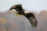 Portrait of a Young Bald Eagle  Haliaeetus Leucocephalus  in Flight
