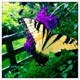A Monarch Butterfly with Tattered Wings on a Butterfly Bush  Buddleia