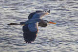 Portrait of a Great Blue Heron  Ardea Herodias  in Flight over the Occoquan River