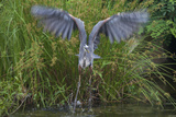 A Great Blue Heron Takes Flight from a Pond Near the Occoquan River in Northern Virginia