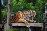Two Tigers Resting on a Perch Overlooking a 108-Acre Forested Reserve