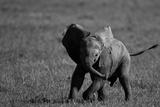 An African Elephant Calf Playfully Running Through a Grassland