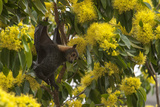 A Spectacled Flying Fox  Pteropus Conspicillatus  Hanging from a Golden Penda Tree