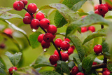 Close Up of Fruiting Winterberry Branches with Water Drops