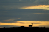Silhouette of a Male Impala Standing Alert on the Sunset Horizon