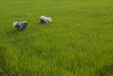 Tending Rice Fields around Phong Triu in the Danang Area of Vietnam
