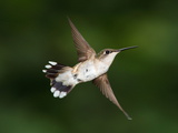 A Female Ruby-Throated Hummingbird  Archilochus Colubris  in Flight