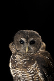 A Rare Northern Spotted Owl  Strix Occidentalis Caurina