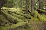 Moss Covered Cedar Log Remains of the Long Houses of the Haida People