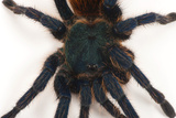 A Greenbottle Blue Tarantula at the Lincoln Children's Zoo