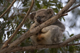 A Federally Threatened Koala with Cystitis  or Dirty Tail  Disease