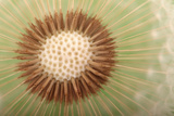 Close Up of the Seed Head of a Common Dandelion  Taraxacum Officinale