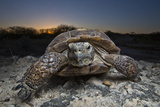 Portrait of an Adult Texas Tortoise Walking on Rocks at Sunset