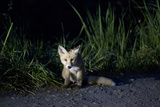 Portrait of a Young Red Fox  Vulpes Vulpes  Sitting on the Side of a Gravel Road at Night