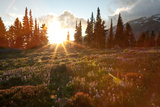 Wildflowers Cover a Landscape on Mount Rainier as the Sun Sets Behind Evergreen Trees