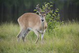 A White Tailed Deer with Antlers in Velvet  Stands in Tall Grass