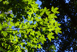 Back-Lit Midsummer Trees with Green Leaves and Blue Sky