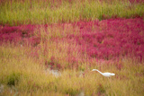 A Great Egret Among Colorful Grasses on Mason's Island in the Fall