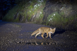 A Young Red Fox  Vulpes Vulpes  Crossing a Gravel Road at Night