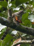 A Hawk Eats a Grasshopper at Manuel Antonio National Park  Costa Rica