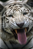A Hungry White Tiger  a Genetic Mutation of an Indian Tiger  Snarling