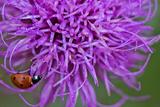 A Ladybug on a Purple Texas Thistle Flower  Cirsium Texanum