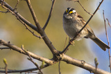 A White-Throated Sparrow  on a Tree Branch Along the Occoquan River
