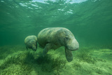 A Manatee Mother with Her Calf in Tow Grazes on Turtle Grass