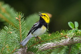 A Male Black-Throated Green Warbler Singing a Territorial Song