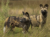 Two Cape Hunting  or African Wild Dogs  Looking around at their Surroundings