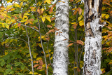 White Birch Tree Trunks Surrounded by Yellow and Green Foliage in the Fall