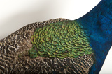 Part of an Indian Peafowl  Pavo Cristatus  at the Lincoln Children's Zoo
