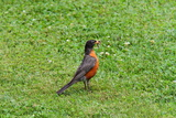 An American Robin Feeding on an Earthworm it Has Pulled from the Turf