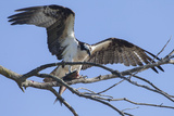 An Osprey  Pandion Haliaetus  Perching in a Treetop with a Fresh-Caught Fish