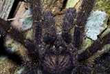 A Hairy Peruvian Pinktoe Tarantula Hunting for Prey on a Tree Trunk at Night