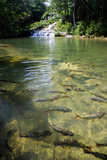 A Waterfall and Fish in the Rio Do Peixe in Bonito  Brazil