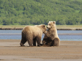 Brown Bears Communicating on a Shoreline in Katmai National Park