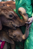 Orphaned African Elephant Calves Suckle on the Fingers of a Wildlife Carer