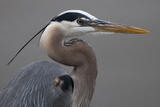 Close Up Portrait of a Great Blue Heron  Ardea Herodias