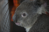 A Federally Threatened Koala Is Transported to an Animal Hospital