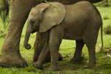 An African Elephant Calf Standing Underneath its Mother