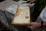 A Man Checks Tupelo Honey Production in His Hives During the Short Season