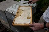 A Man Checks Tupelo Honey Production in His Hives During the Short Season