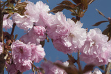 Close Up of Fluffy Pink Cherry Blossoms on a Tree in the Spring Along the Occoquan River