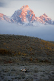 A Pronghorn Stands in the Valley  as the First Light of the Day Hits the Grand Tetons