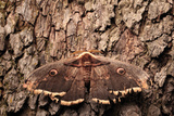Portrait of a Giant or Great Peacock Moth  or Viennese Emperor Moth  Saturnia Pyri