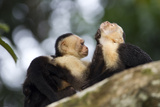 Brown Capuchin Monkeys Groom Each Other
