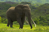 An Old African Elephant Bull Walking Through a Green Landscape