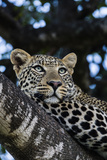 An African Leopard Stares Intently at Animals Grazing on the Savannah Plain