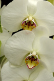 Close Up of Large  White Phalaenopsis Orchids  Phalaenopsis Species